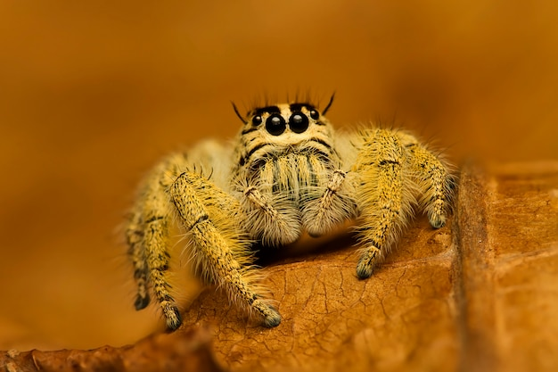 Extreme magnification, jumping spider