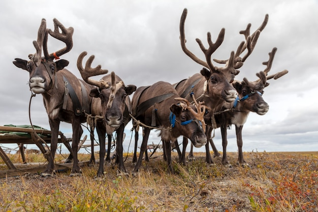 The extreme north, yamal,   reindeer in tundra, deer harness with reindeer, pasture of nenets
