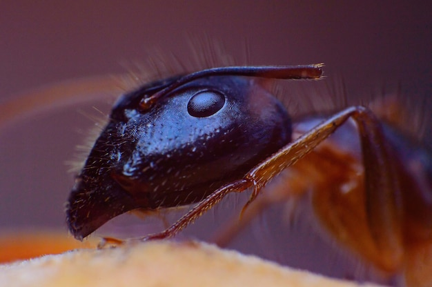 Extreme super macro queen hairy ant insect