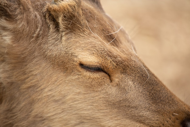 Extremely closeup of a deer with a  slightly closed eye