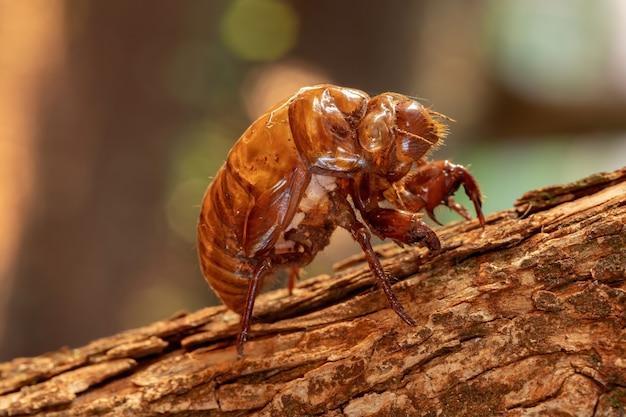 典型的なセミの外骨格、脱皮と呼ばれる昆虫の成熟の過程で放棄された外骨格