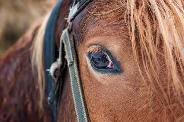 Eye of erabian bay horse