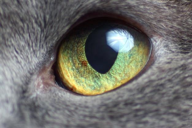Eye of grey cat close-up