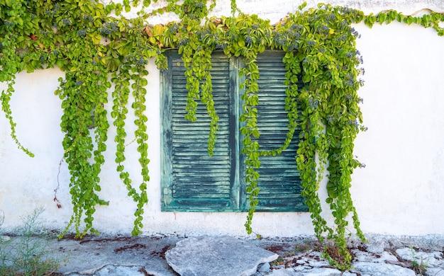 Inquadratura a livello degli occhi di una pianta rampicante appesa a finestre chiuse in grecia