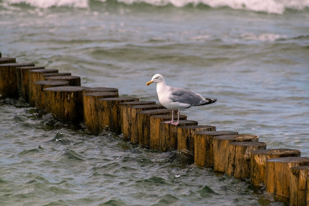 Eye-level shot of a seagull perched on a wooden groyne in the baltic sea