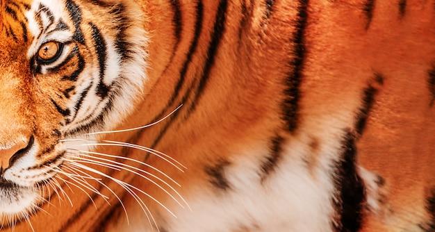 호랑이 배경의 눈. 아무르 호랑이 초상화.