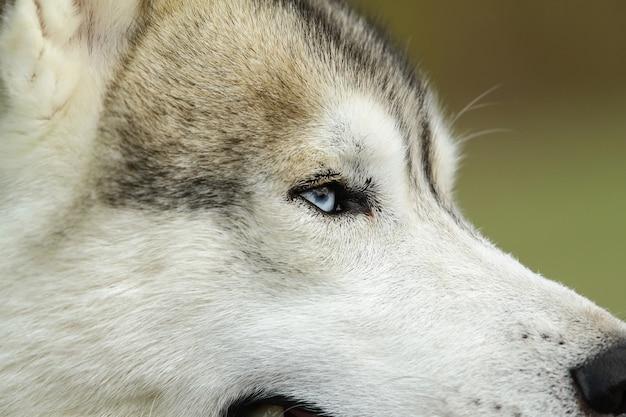 Eye of siberian husky dog
