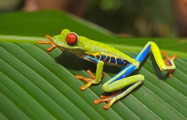 Eyed  amphibian nature tree frog