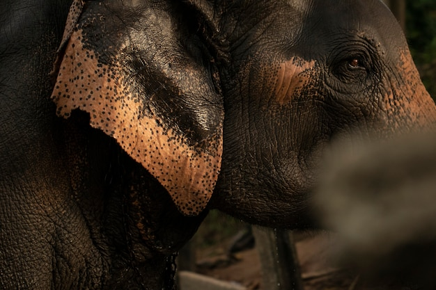 The eyes and the head of an elephant