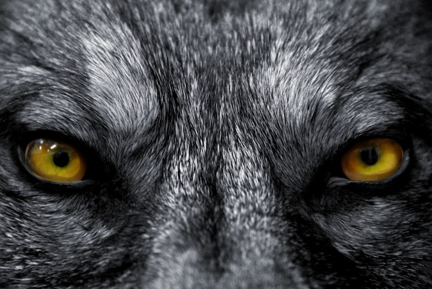 Глаза волка