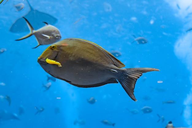 中国海南島三亜市アトランティス水族館のニセカンランハギ(acanthurus xanthopterus)またはクロハギ(acanthurus dussumieri)。