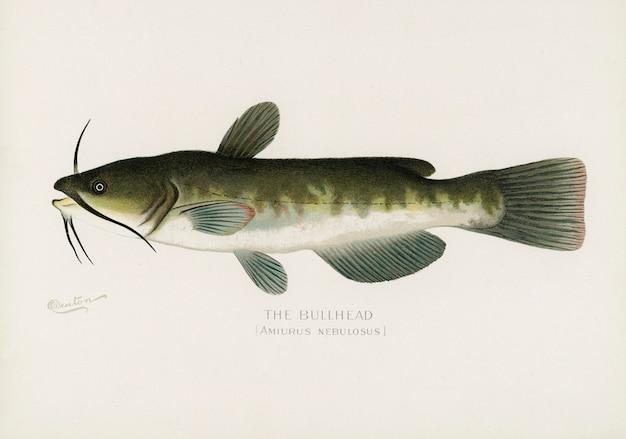 ブルームヘッド;シャーマン・f.・デントン(1856-1937)によって描かれたアブラハム(amiurus nebulosus)
