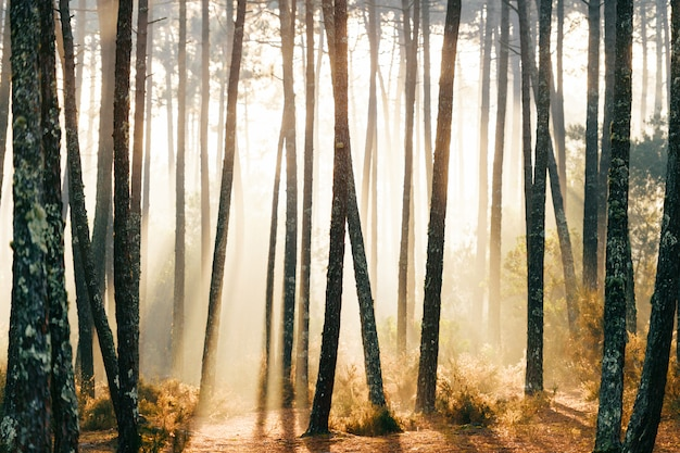 Fabulous european forest. picturesque sunrise at nature. fairy tale scenic view. magnificent sun rays in pine trees.