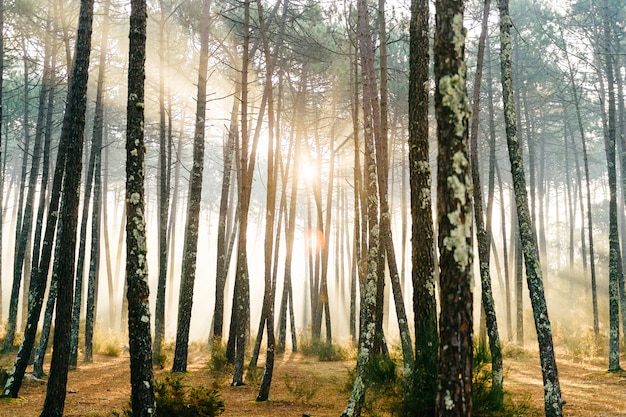 Fabulous european forest.  picturesque sunrise in portugal. fairy tale scenic view.  magnificent sun rays in pine trees.
