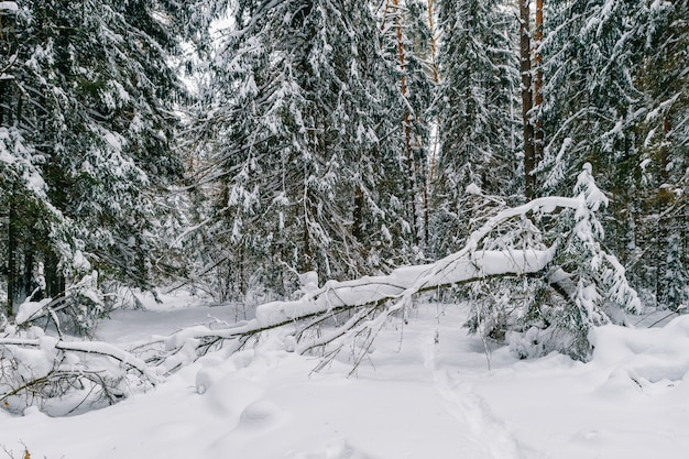 Fabulous magic fairy tale winter forest. beautiful picturesque wintertime wild nature landscape. trees covered with snow.