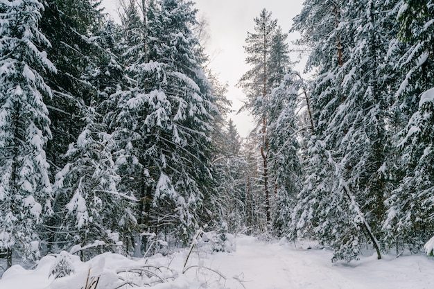 Fabulous magic fairy tale winter forest. beautiful picturesque wintertime wild nature landscape.