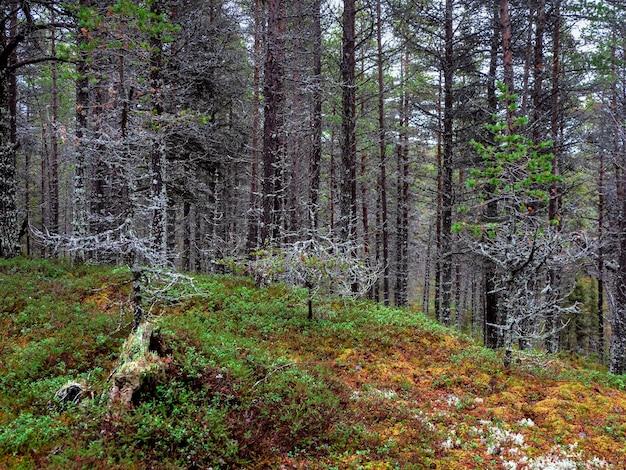 멋진 북부 숲. 이끼로 덮여있는 나무. 콜라 반도의 깊은 숲.
