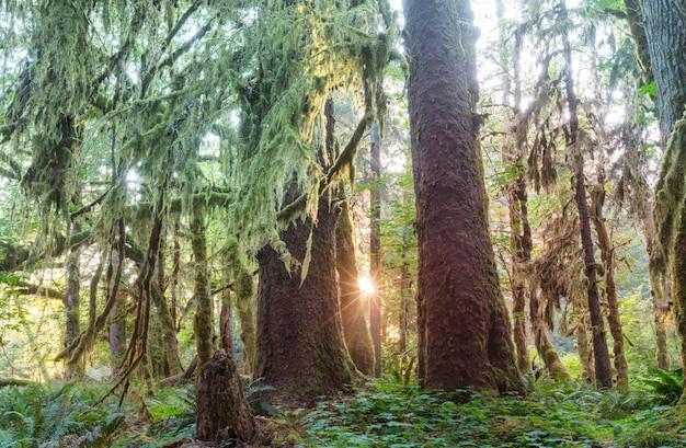 올림픽 국립 공원, 워싱턴, 미국에서 멋진 열대 우림. 나무는 두꺼운 이끼로 덮여 있습니다.