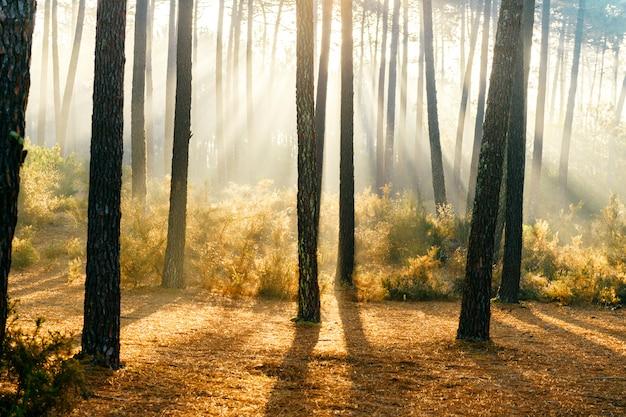 Fabulous sunlight in forest.  picturesque nature sunrise. fairy tale scenic view.  magnificent sun rays in pine trees.  beautiful seasonal landscape. dramatic scenic view at folliage