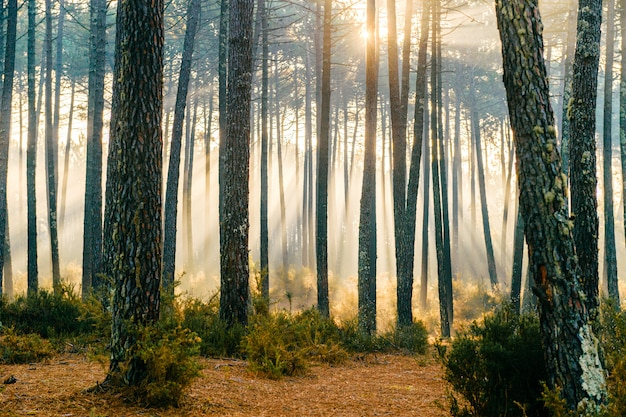 Fabulous sunlight in forest.  picturesque nature sunrise. fairy tale scenic view.  magnificent sun rays in pine trees.  beautiful seasonal landscape.