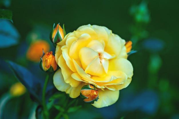 Сказочная желтая садовая роза с бутонами в зеленом летнем розарии