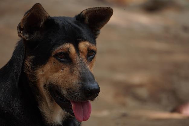 Face of a black stray dog