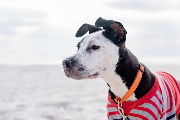 The face of a funny staffordshire terrier puppy on the background of the beach.