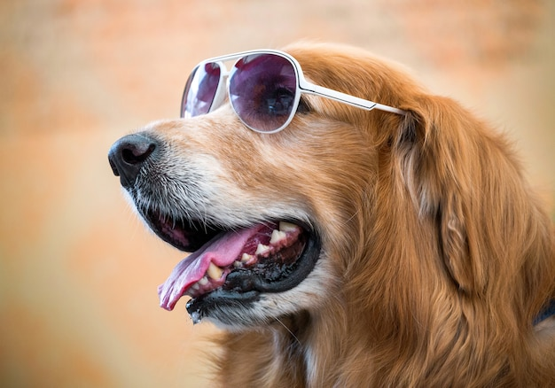 The face of golden dog wearing glasses.