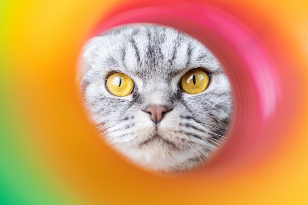 The face of a gray scottish fold cat in the hole of a rainbow plastic toy.