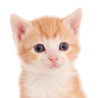 Лицо рыжего котенка шести недель на фоне белой стены
