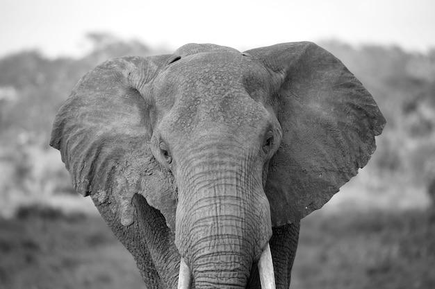Лицо красного слона крупным планом