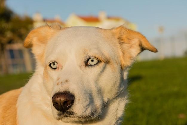 草の上を歩く白い犬の顔