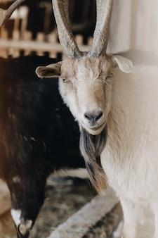 角で、木製の屋台で、農場で白いヤギの顔