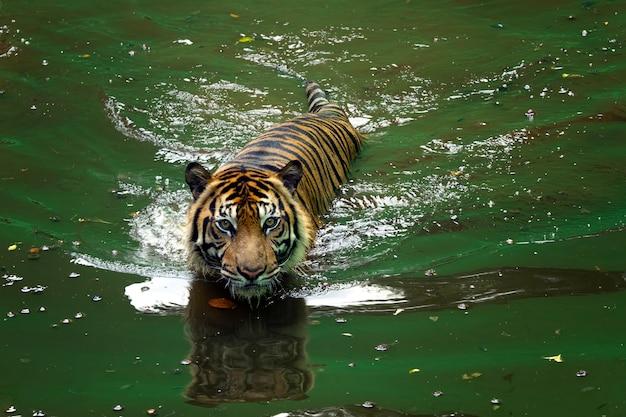 Морда суматранского тигра суматранский тигр играет в воде