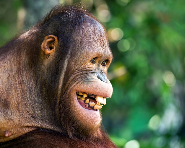 The face of the orangutan is smiling happily.
