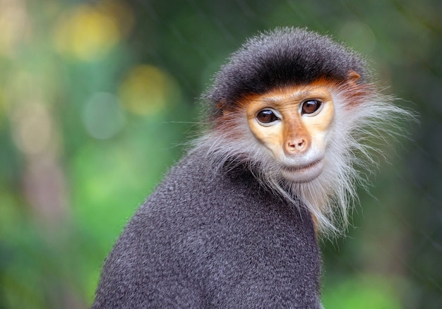 Face of the red-shanked douc langur in the natural atmosphere.