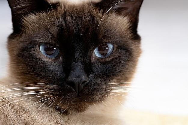 Face of a siamese cat in closeup