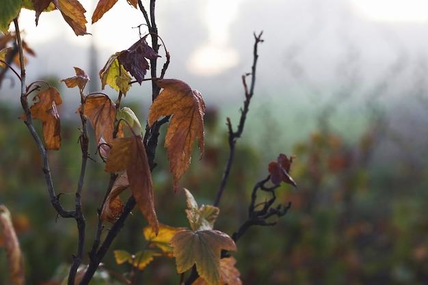 色あせたスグリが暗い秋の朝に茂みに葉