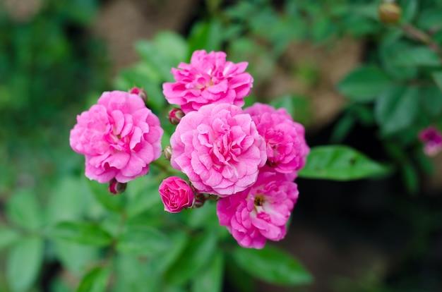Fairy rose blooming on tree