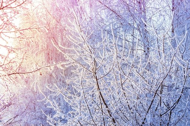 요정 눈 일출 나무입니다. 겨울 추운 화창한 풍경입니다.