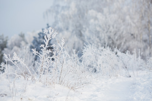 Fairy winter grass in the snow. winter time. heavy snowfall. trees in the snow. beautiful landscape. the trunks and branches of trees in hoarfrost