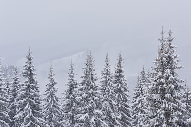 Fairy winter landscape with fir trees and snowfall.