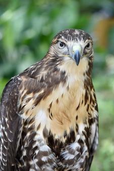 Сокол, птица на природе.