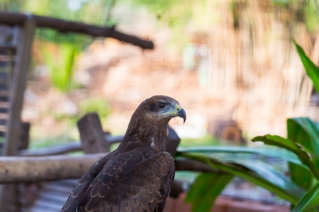 Falcon close up in the park with green background