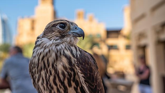 Falcon in the united arab emirates