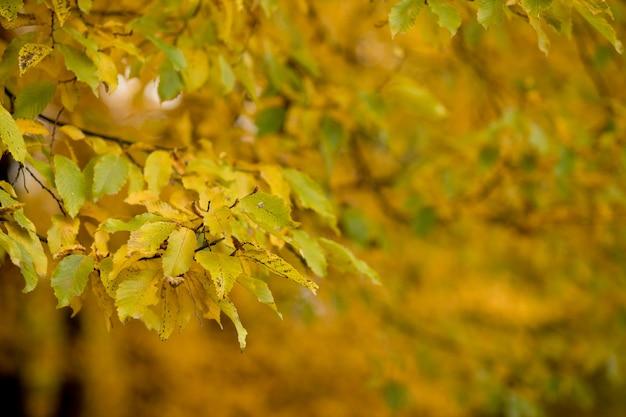Осень, осень, листья фон. ветвь дерева с осенними листьями на размытом фоне. пейзаж в осенний сезон.