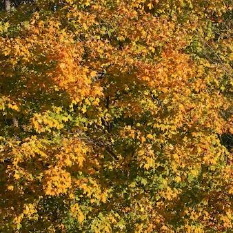 秋の色、紅葉、緑のミックスで黄色