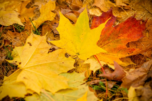 Fall leaves background.background of colored wet autumnal maple leaves in a park.