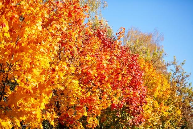 Падать. разноцветная листва на деревьях в парке. осенние желтые и красные листья на фоне голубого неба.