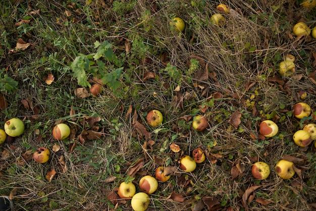 Упавшие яблоки лежат на земле вид сверху природа